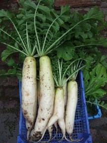 Daikon at NamaYasai LLP Japanese Vegetable Growers in the UK